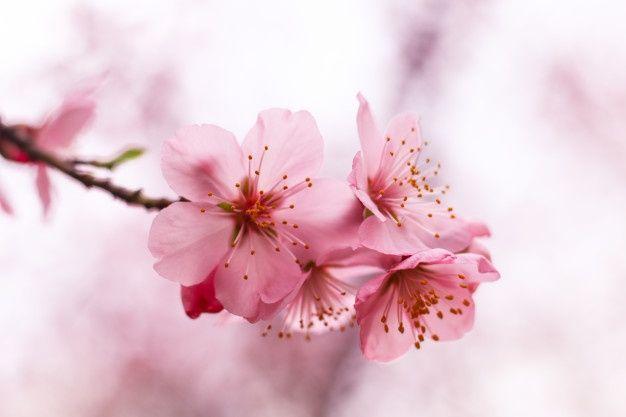 Beautiful Cherry Blossom Free Photo Freepik Freephoto Flower Wedding Floral Tree In 2021 Cherry Blossom Flowers Cherry Blossom Blossom Trees