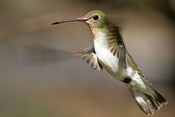 Photos of Hummingbirds / Picaflores - Apodiformes - Argentina