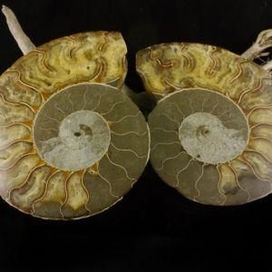 Ammonite Pair 1
