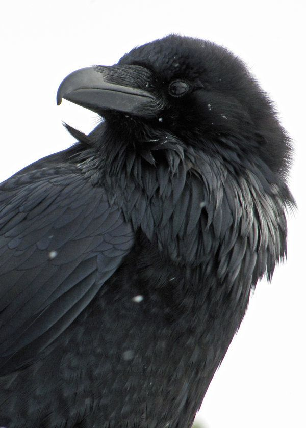 A common raven (Corvus corax) at the Grizzly & Wolf Discovery Center in West Yellowstone, MT.