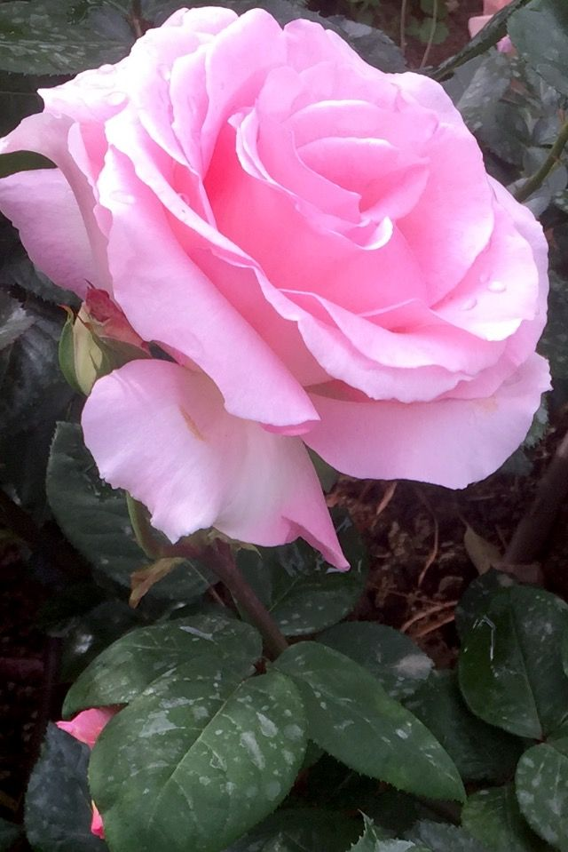 Pink Roses Rosas Rose Rosa Pretty Flowers Amazing Flowers