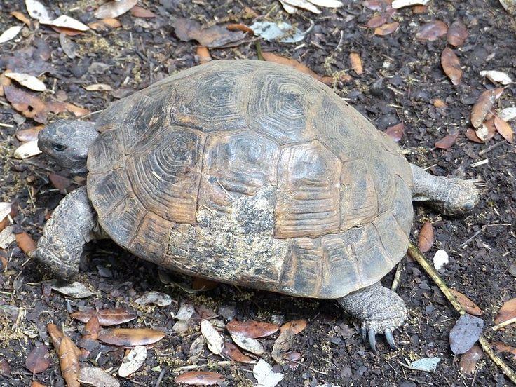 Tortue-mauresque-Tortue-grecque-Testudo-graeca-Spur-thighed-tortoise-Greek-tortoise