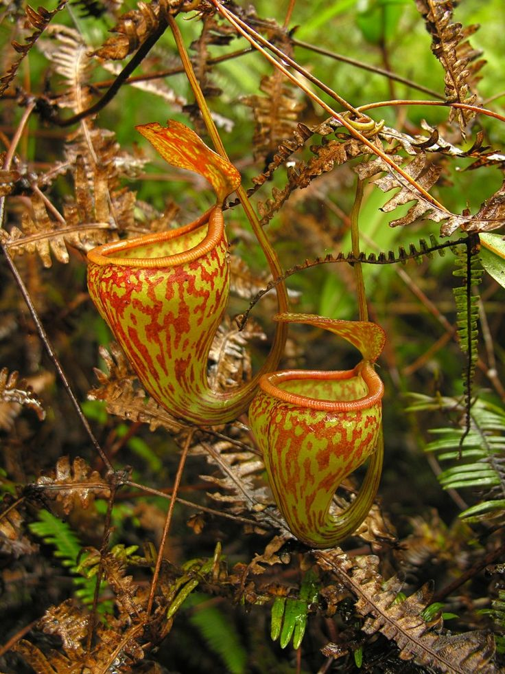 Nepenthes pitopangii. Perhaps the rarest tropical pitcher plant, only one plant ever found. We hope poachers dont kill the one existing vine. A spectacular nepenthes.