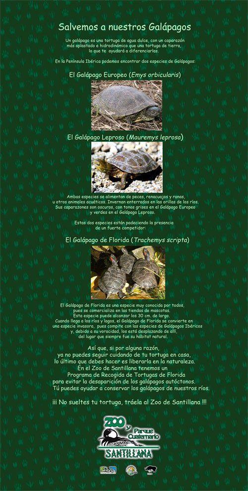 Recuerda que el Zoo de Santillana lleva a cabo una campaña de recogida de Galápagos de Florida. ¡Ayúdanos a evitar que esta especie se convierta en una amenaza para nuestras especies autóctonas!