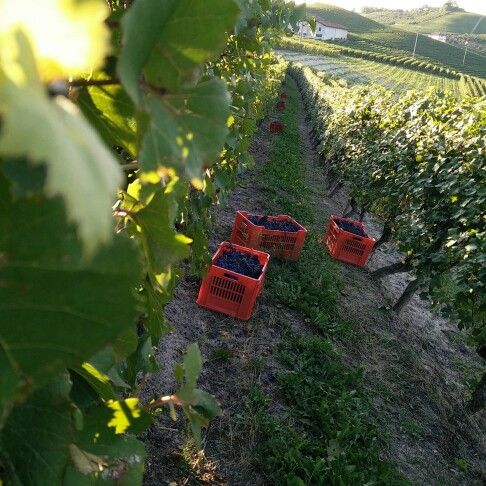 Start #harvest2015 #harvest #vendemmiaitalia #vendemmia2015 #nofilter #wine #unesco #langhe #langheunesco #igerslanghe #instalanghetti #ig_piemonte #ig_cuneo #dianodalba #dianodalbadocg #dolcetto #fratelliaimasso #cool