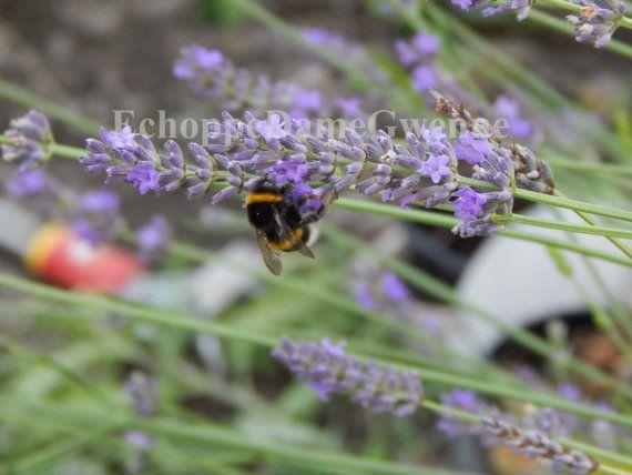 Photo petite abeille qui butine autour de la lavande