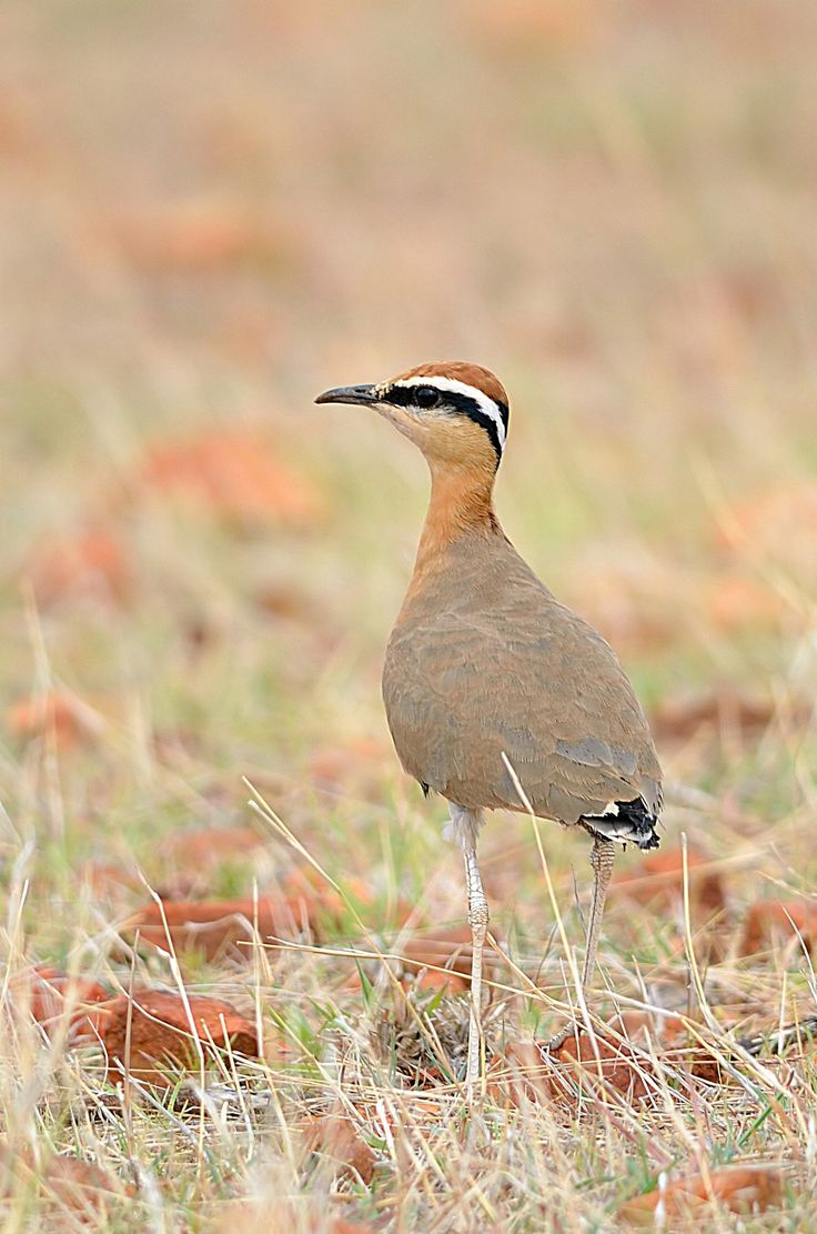 435 best birds south africa images on pinterest birds beautiful