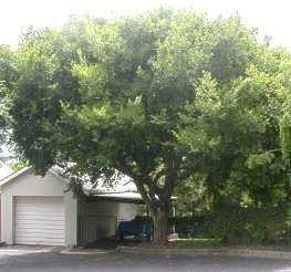 Celtis africana is a fast growing, shady tree. Can get quite tall, and has smooth, pale grey to white bark. Newer leaves are light green and smooth, and get darker and smoother as they age. Produces inconspicuous green flowers. Attracts many birds and insects.