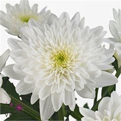 Bonita is a double white variety of spray chrysanthemum ...