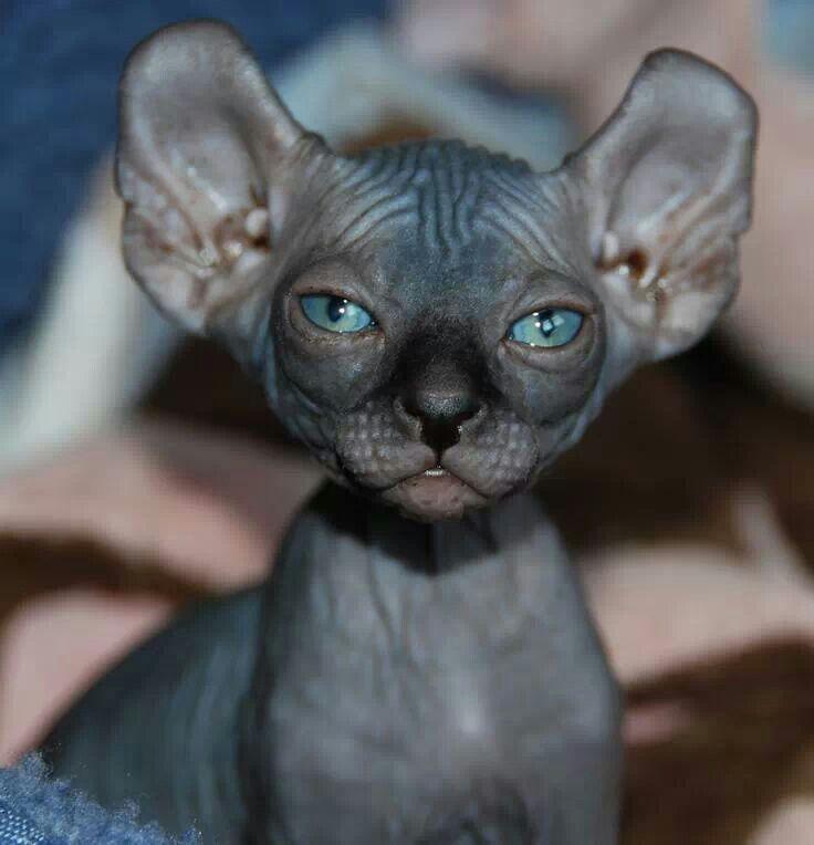 Creo que es un gato egipcio... my things Pinterest