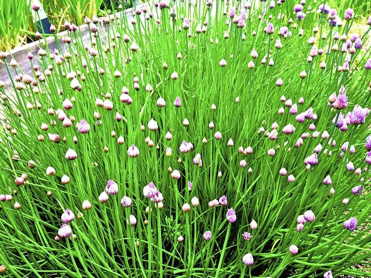 Species of Plant in the Garden of Carl Linneaus in Uppsala