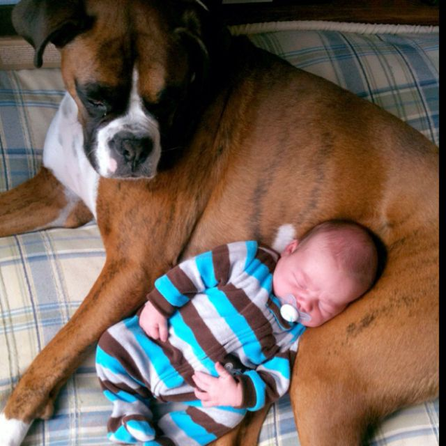 I truly believe boxers are the best dogs in the world! They're so goofy, but more than that, they are gentle and protectors of their whole family... Especially their babies!