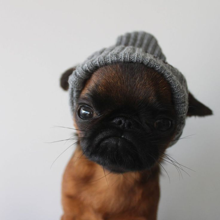 Brussels Griffon pup - what a tuffy with a knit hat on!