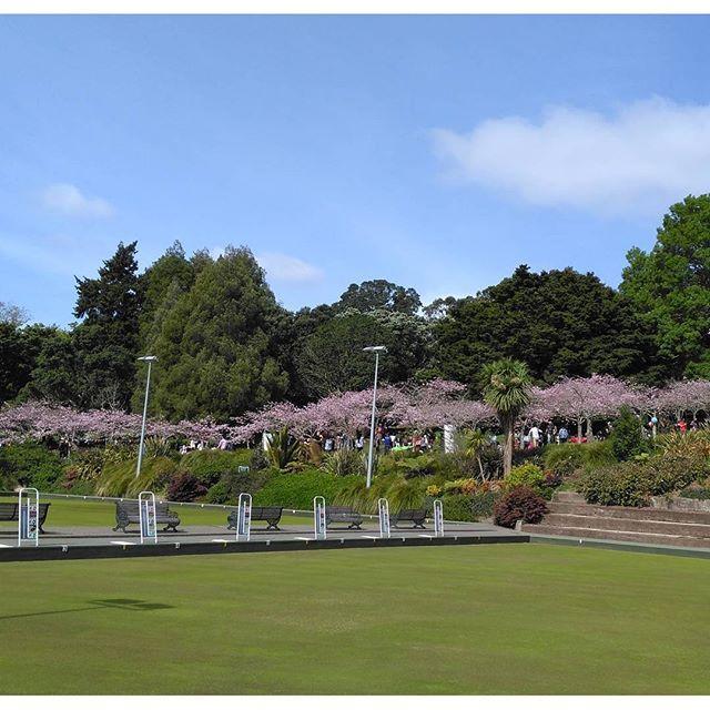 【nziosjapan】さんのInstagramをピンしています。 《オークランド・ドメインで花見!  #留学 #英語 #ニュージーランド #オークランド #ワーホリ #Auckland #NewZealand #English #NCEA #business #ビジネス #Diploma #ディプロマ #IELTS #正規 #留学 #桜 #花見》
