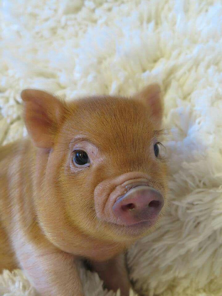 Cute Little Baby Piggy Wiggy Pig