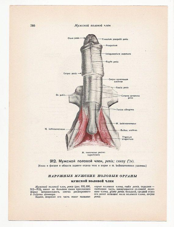 120 best morbid anatomy images on pinterest human anatomy anatomy penis 2 vintage illustrations mature print medical skull skeleton anatomical anatomy page nude human body old ccuart Gallery