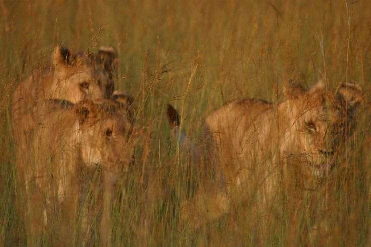 Take a stroll with the big cats of the Savannah! http://www.wunderbird.com/safari/rejser_til_den_store_vandring