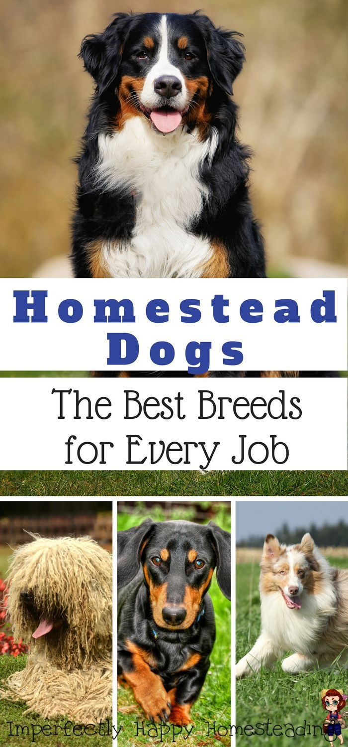 Homestead Dogs - the best breeds for every job. Working dog breeds on your homestead, hobby farm, backyard and urban homesteads.