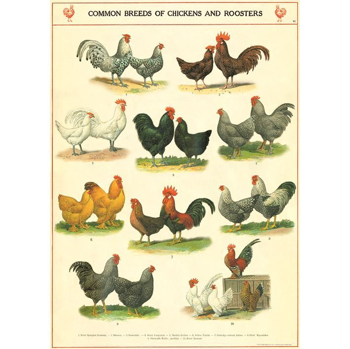 Poster/Giftwrap - Chickens & Roosters at Evans and Hall $6.95 #Cavallini