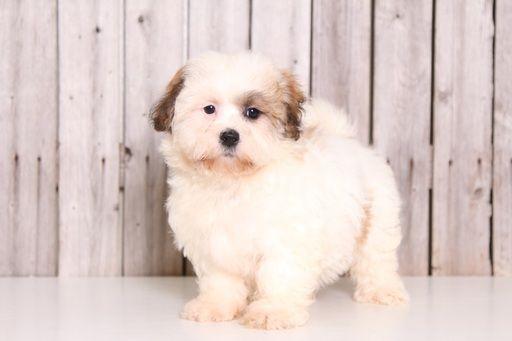 Zuchon puppy for sale in MOUNT VERNON, OH. ADN-32621 on PuppyFinder.com Gender: Female. Age: 9 Weeks Old