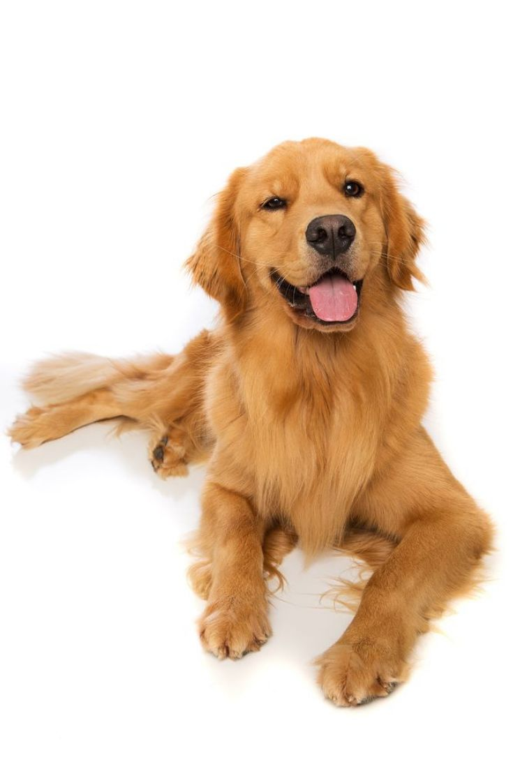 A golden retriever dog laying down goldenretriever dogs