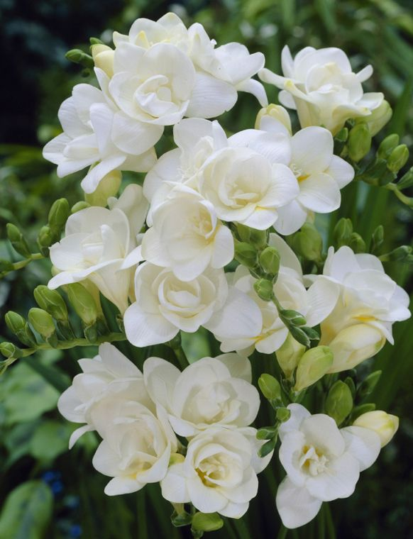 White Freesia in the bridesmaids bouquet and for the corsages and boutonnieres.