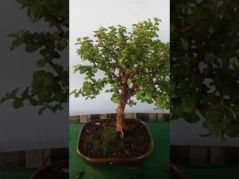 Planta de jade para el resguardo, la abundancia y la prosperidad de nuestra casa - YouTube