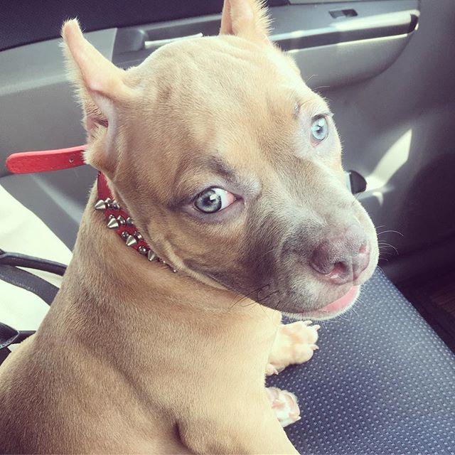 まだ幼い顔の時😋❤️#アメリカンブリー#ピットブル#アメリカンピットブルテリア#子犬#愛犬#americanbully#pitbullpuppy#americanpitbullterrier#puppy#abkc#dog#pet#dogsofinsta#instadog#doglife#doglover#cute#l4l