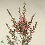 Waxflower Wendy Pink! #Flowers #Wedding #Chamelaucium #Wholesale #Waxflower