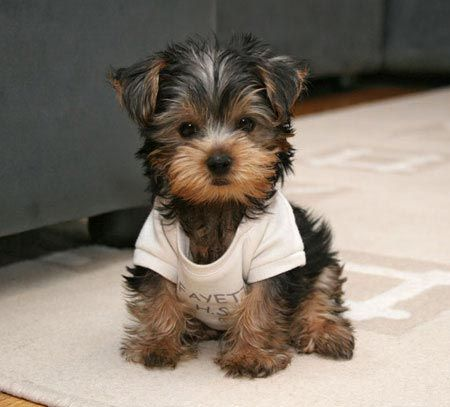 Cutest yorkie ever... Tiff!!?:)
