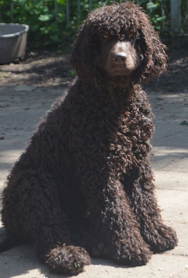 Tubber the Irish water spaniel