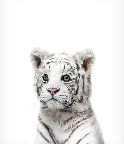 Baby White Tiger druckbare Kunst