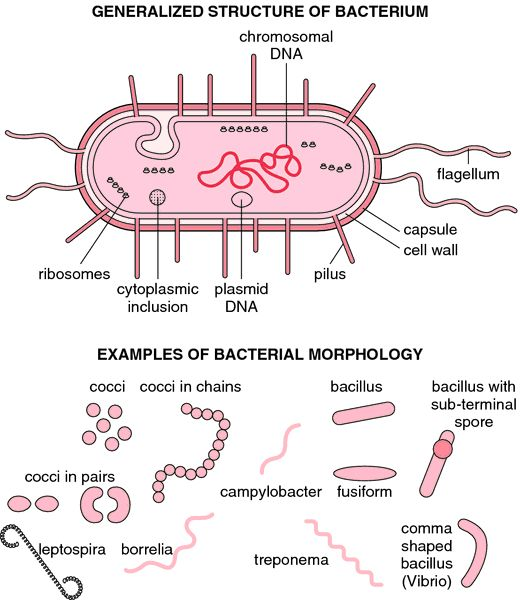 Acid-fast bacterium   definition of acid-fast bacterium by Medical dictionary