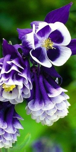 Aquilegias aka Columbine the flower can only truely be appreciated by looking up close, it has (barley visable to the eye) translucent petals in the center, so delicate you know... there is a God.
