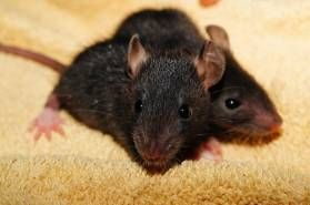 It has been said that the greatest enemy of man, is man himself. However it is the black rat that is responsible for more deaths than all wars combined.