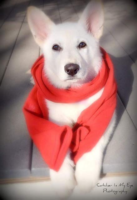 SNOW WHITE Polar Bear #German #Shepherd, Waiting for snow in Oklahoma: German Shepherd, Snow Photo