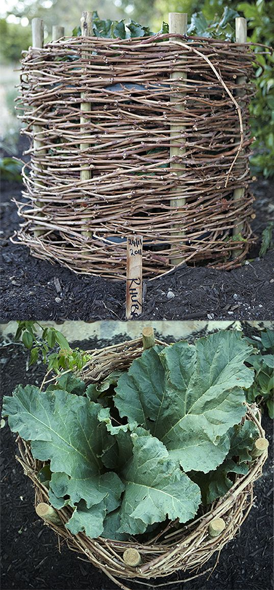Rhubarb baskets made from vine runners