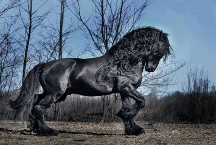Magnificent black stallion.  Friesian, perhaps?