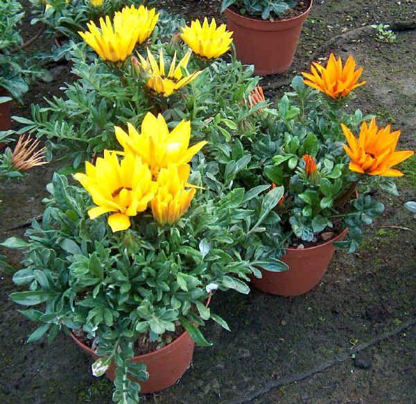 Gazania x hybrida giardinaggio pinterest for Fiori perenni pieno sole