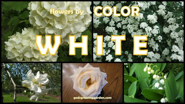 Featuring #white #flowers grown in my #garden by: http://www.godsgrowinggarden.com/2017/07/flowers-by-color-white.html
