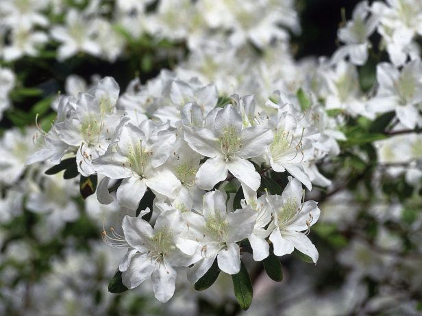 Dwarf Azalea in Full Bloom from Spring Into Summer The rhododendron Palestrina is a dwarf evergreen azalea with white flowers. Protect with fabric in the winter.