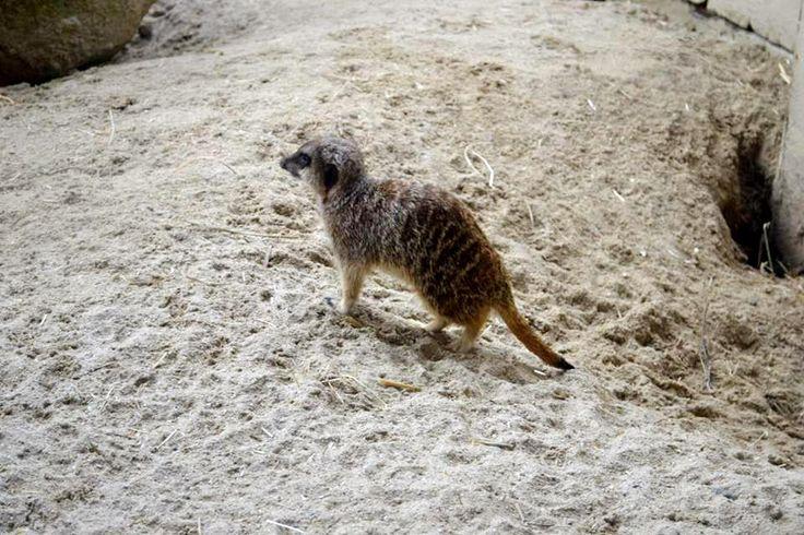 Photograph: Meerkat in the Sand; Date: February 12, 2016; Location: Dublin Zoo, Phoenix Park, Dublin; Photographer: Jedd Cabreza Photography