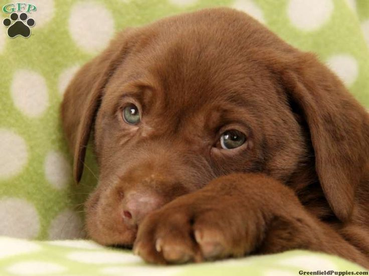 Chocolate Lab Puppies | to make this chocolate lab puppy a part of your family please call the ...