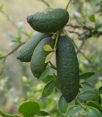 Australia Finger Lime fruit. Citrus australasica is a thorny understorey shrub or small tree of lowland subtropical rainforest region of Queensland and North South Wales, Australia