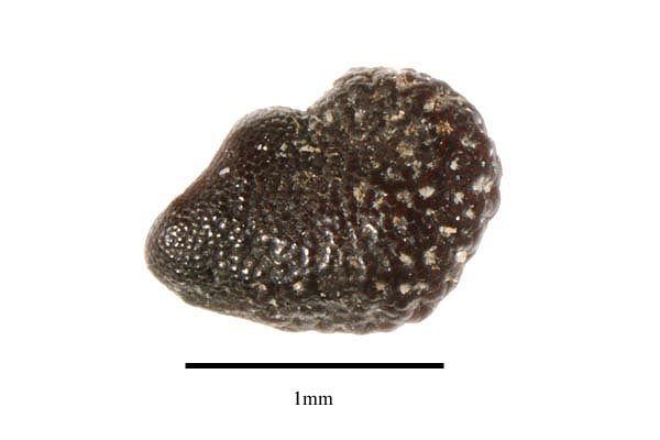 http://www.ars-grin.gov/npgs/images/sbml/Neoraimondia_arequipensis_seed.jpg