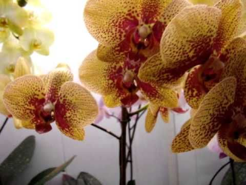 Орхидеи Фалинопсис - уход. Орхидеи -  Мильтония, Дендробиум, Камбрия, Ванда, Цимбидиум. - YouTube