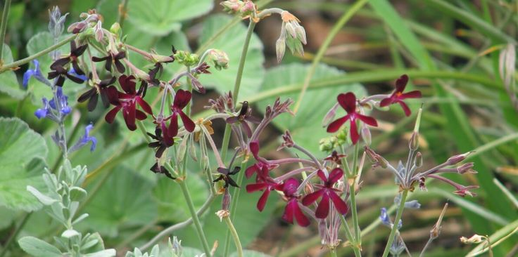 Pelargonium is a herbal medicine that is more effective for treating colds, sore throat, sinusitis and acute bronchitis than anything I can prescribe as a doctor. The herbal remedy is extracted fro…