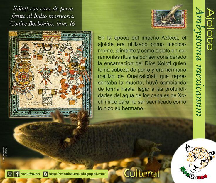 Ajolote (Ambystoma mexicanum): CULTURAL MAYOR INFORMACIÓN: http://mexifauna.blogspot.mx/2014/08/ajolote-ambystoma-mexicanum.html