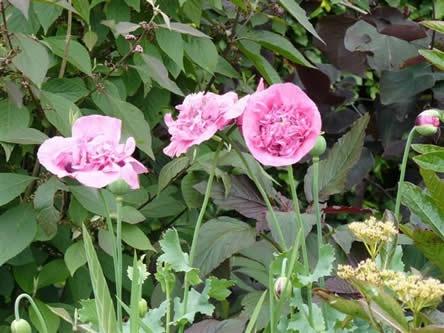 Dubbele roze Papaver somniferum