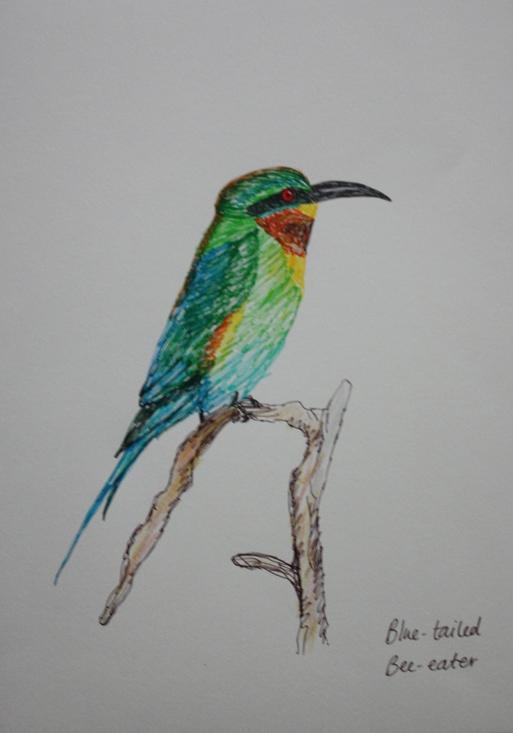 blue-tailed bee-eater sketch